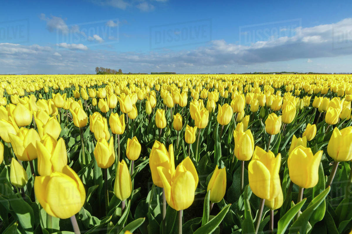 Yellow Tulip Meanings and History