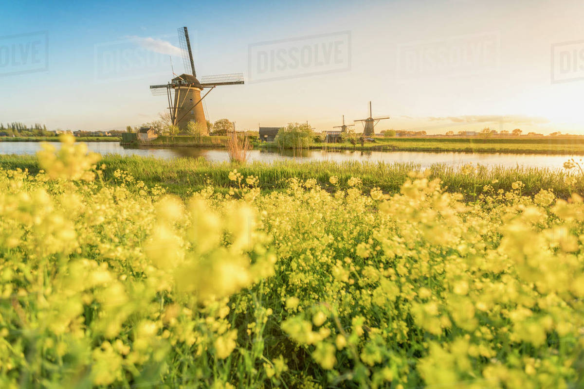 Golden Light Over The Windmills With Yellow Flowers In The