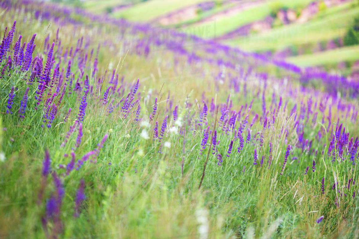salvia growing in a field, background Royalty-free stock photo
