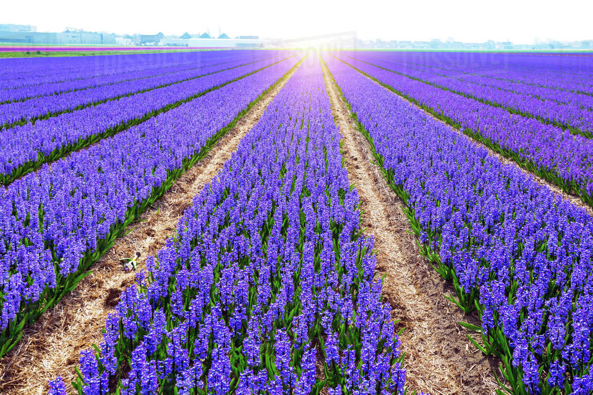 Famous Dutch flower fields during flowering - rows of colorful hyacinths. trip to the netherlands in spring Royalty-free stock photo