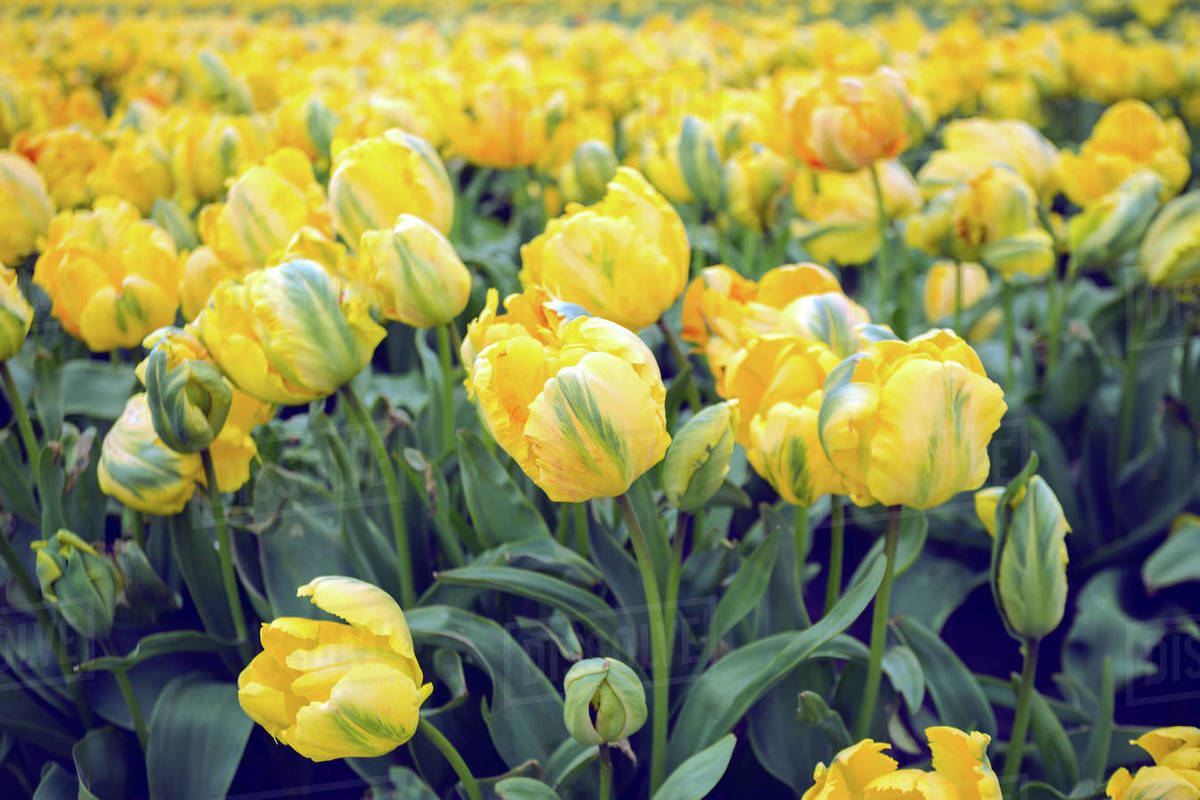 Famous Dutch flower fields during flowering - rows of yellow tulips. trip to the netherlands in spring Royalty-free stock photo