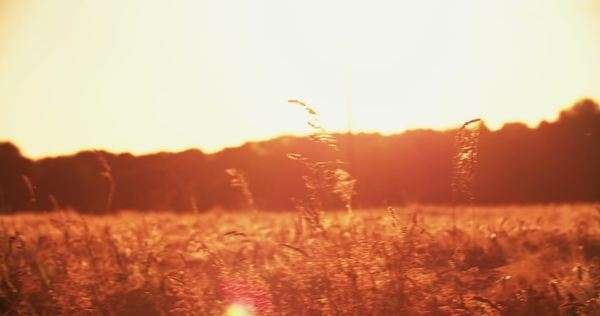 Colour tinted scene of a tranquil wheat field at sunset with golden sunflare and vintage style effect of pink haze Royalty-free stock video