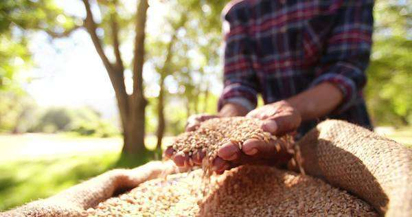 Fresh grains of wheat being checked by farmer's hands Royalty-free stock video