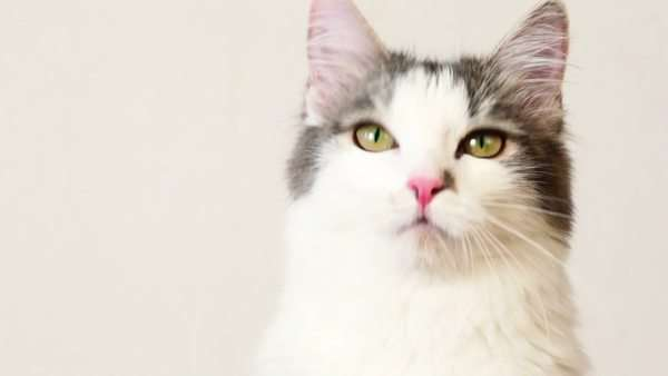 Cat look around follow something, closeup at white background Royalty-free stock video