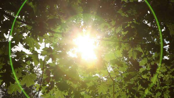 Sunlight breaks through the green leaves of maple, which sways in the wind Royalty-free stock video