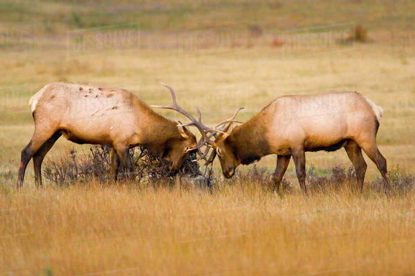 USA, Colorado, Rocky Mountain National Park, Moraine Valley. Bull elks sparring for dominance in mating season. Royalty-free stock photo