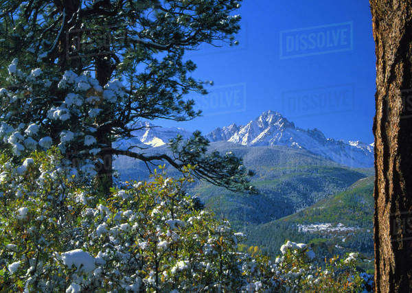 Snow covered trees and the Sneffels Wilderness Range. Royalty-free stock photo