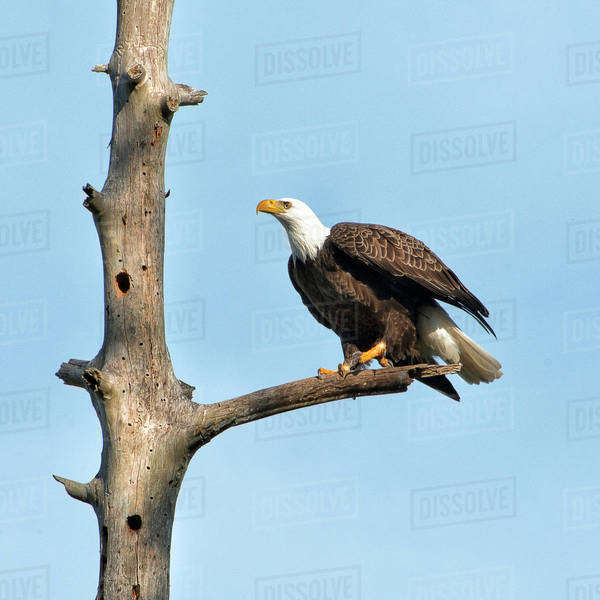 A Bald Eagle prepares to leap into flight Royalty-free stock photo