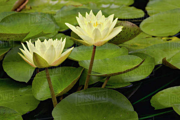 Hybrid water lilies, White River Gardens State Park, Indianapolis, Indiana Royalty-free stock photo