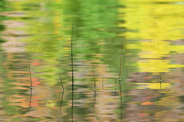 USA, New York, Adirondacks, Reflections in water with reeds. Royalty-free stock photo