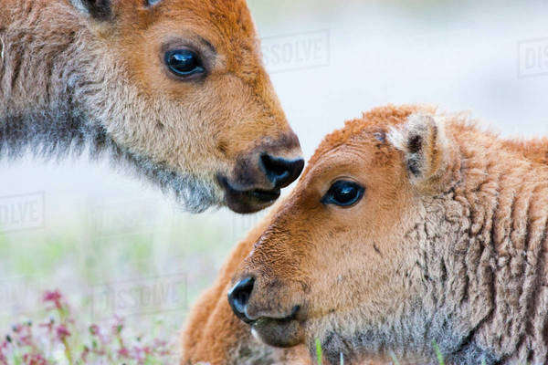 Wyoming, Yellowstone National Park, Bison calves greeting each other. Royalty-free stock photo