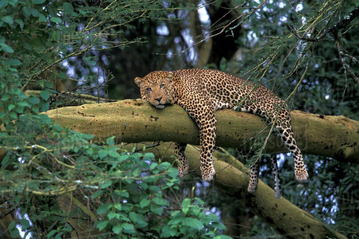Lake Nakuru Leopards