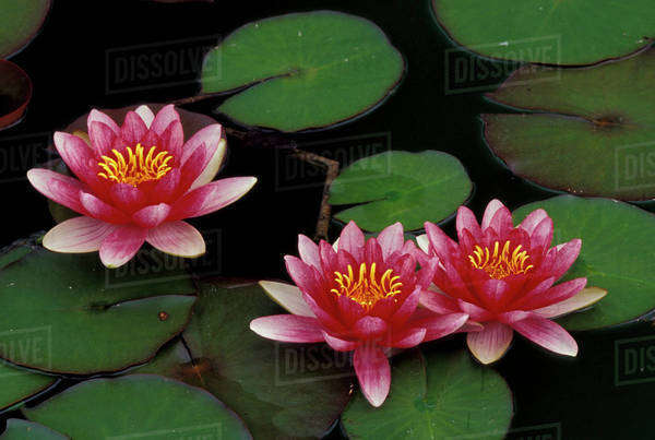 USA, Indiana. Hybrid water lilies Royalty-free stock photo