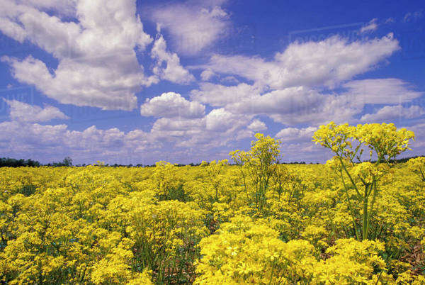 Field of golden ragwort (Senicio aureus) and clouds Royalty-free stock photo