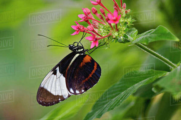Cyndo Longwing, Heliconius cyndo, native to Central and South America Royalty-free stock photo