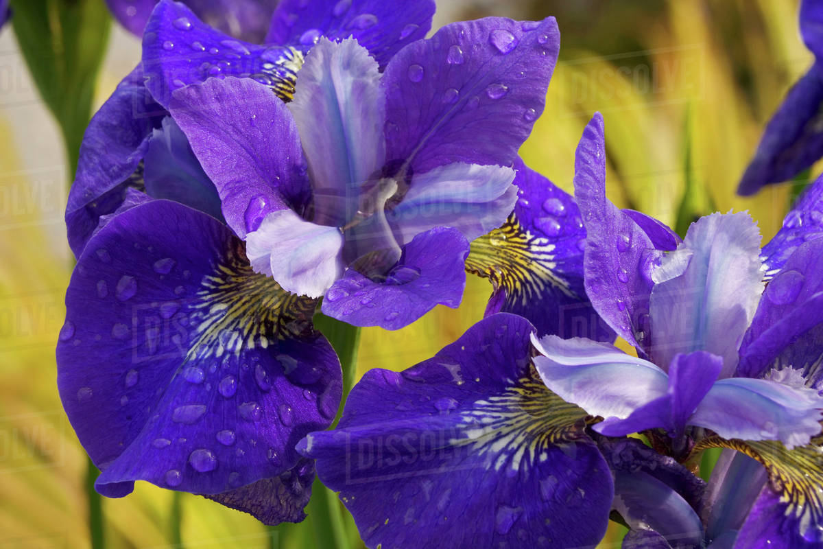 Close Up Of Iris Flowers In Garden Stock Photo Dissolve