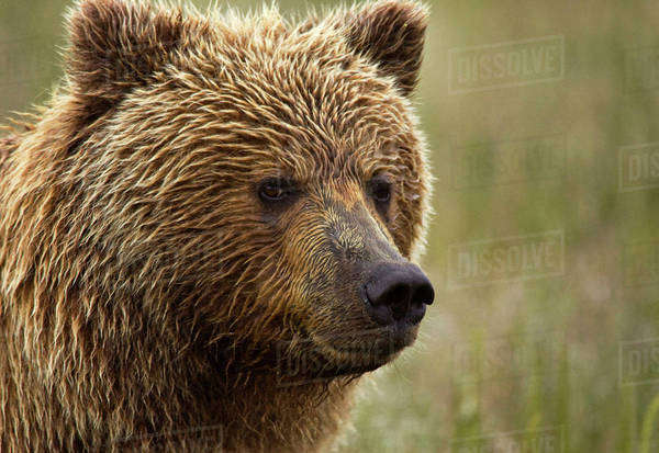 USA, Alaska, Lake Clark National Park. Portrait of a grizzly bear. Royalty-free stock photo