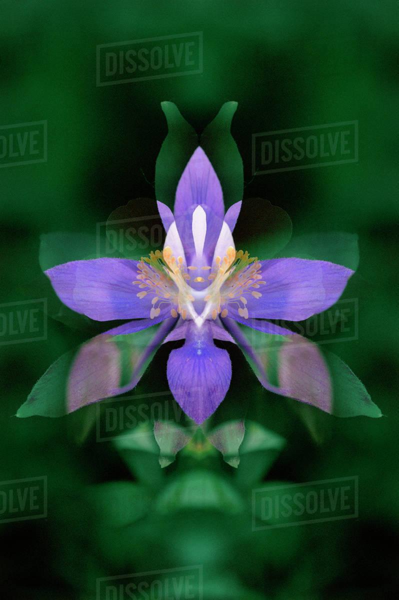 Usa Colorado Boulder County Colorado Columbine Flower Montage