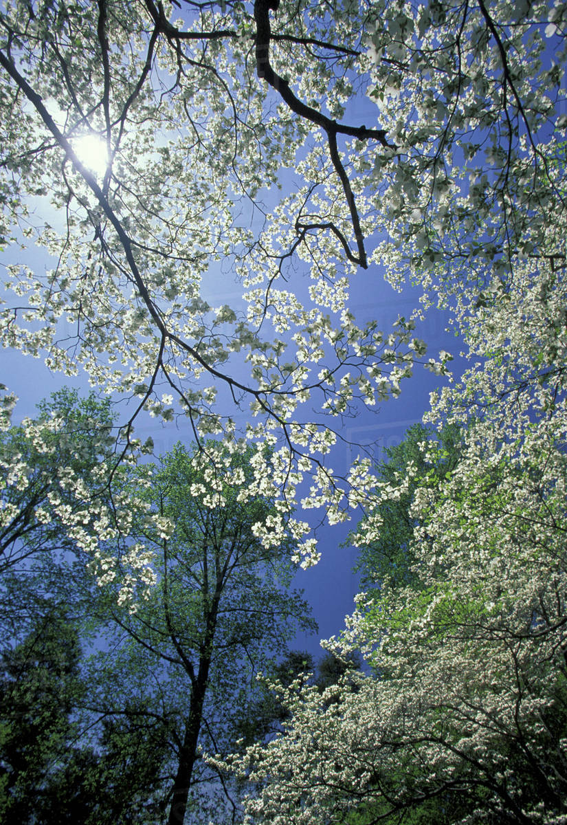 Usa kentucky view upward through white flowering dogwood trees in view upward through white flowering dogwood trees in full bloom mightylinksfo