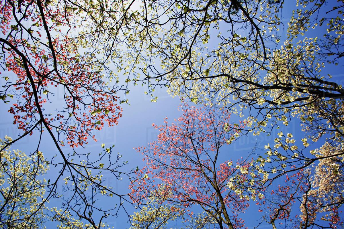 Skyward View Of Pink And White Dogwood Trees Lexington Kentucky D256 19 485