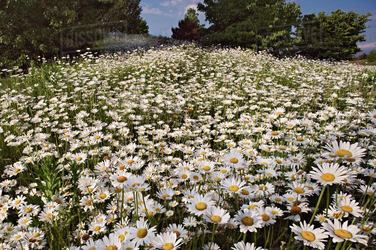 Hillside Of Oxeye Daisy Flowers North Carolina Chrysanthemum