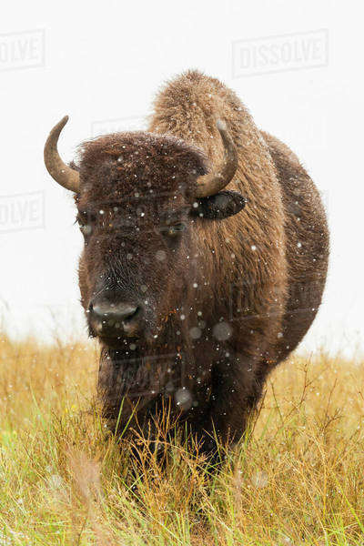 USA, South Dakota, Custer State Park. Bison and snowflakes. Royalty-free stock photo