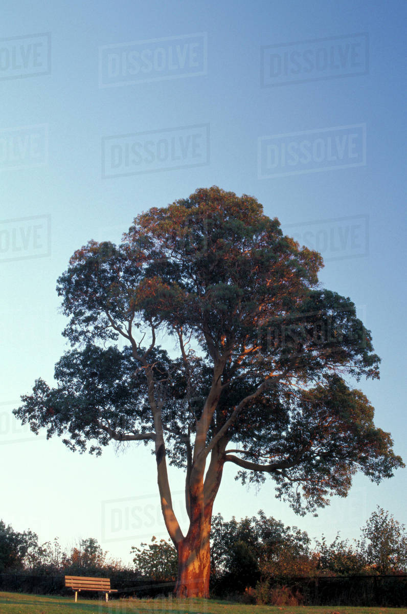 Usa Washington State Seattle Madrona Tree At Magnolia Park Fall