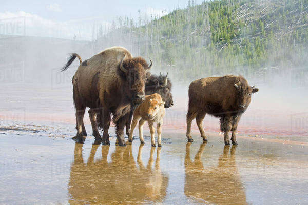 WY, Yellowstone National Park, Bison calf, mother, and yearlings, at Midway Geyser Basin Royalty-free stock photo