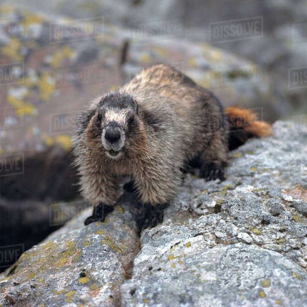 Canada, British Columbia, Yoho National Park. Hoary Marmots give a shrill whistle when alarmed, Yoho National Park, British Columbia, Canada. Royalty-free stock photo