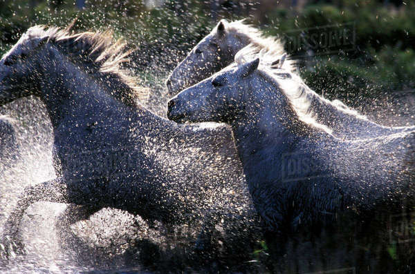 Europe, France, Ile de la Camargue. Camargue Horses (Eguus caballus) Royalty-free stock photo
