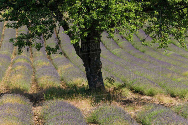 Lavender, near Montbrun-les-Bains, Vaucluse, Provence, France Royalty-free stock photo