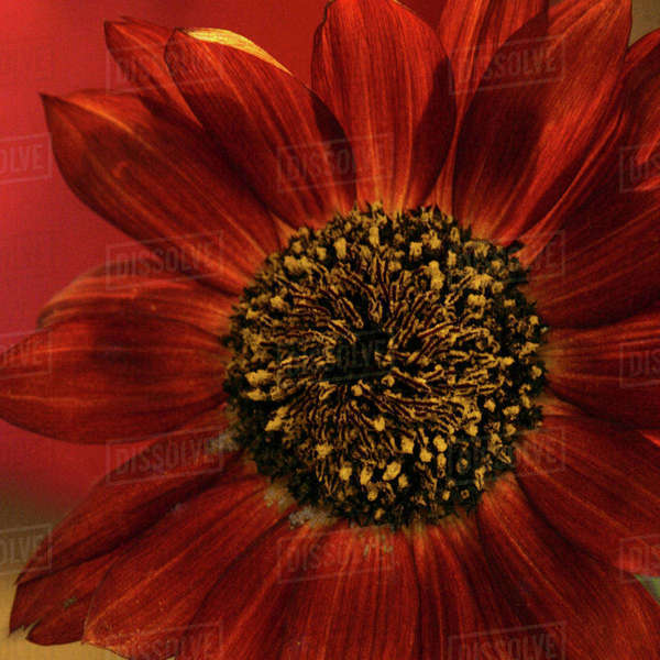 Red sunflower close-up Royalty-free stock photo