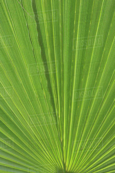 Detail of Palm Tree Frond Royalty-free stock photo