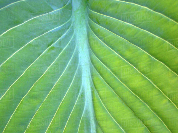 Hosta leaf close-up Royalty-free stock photo