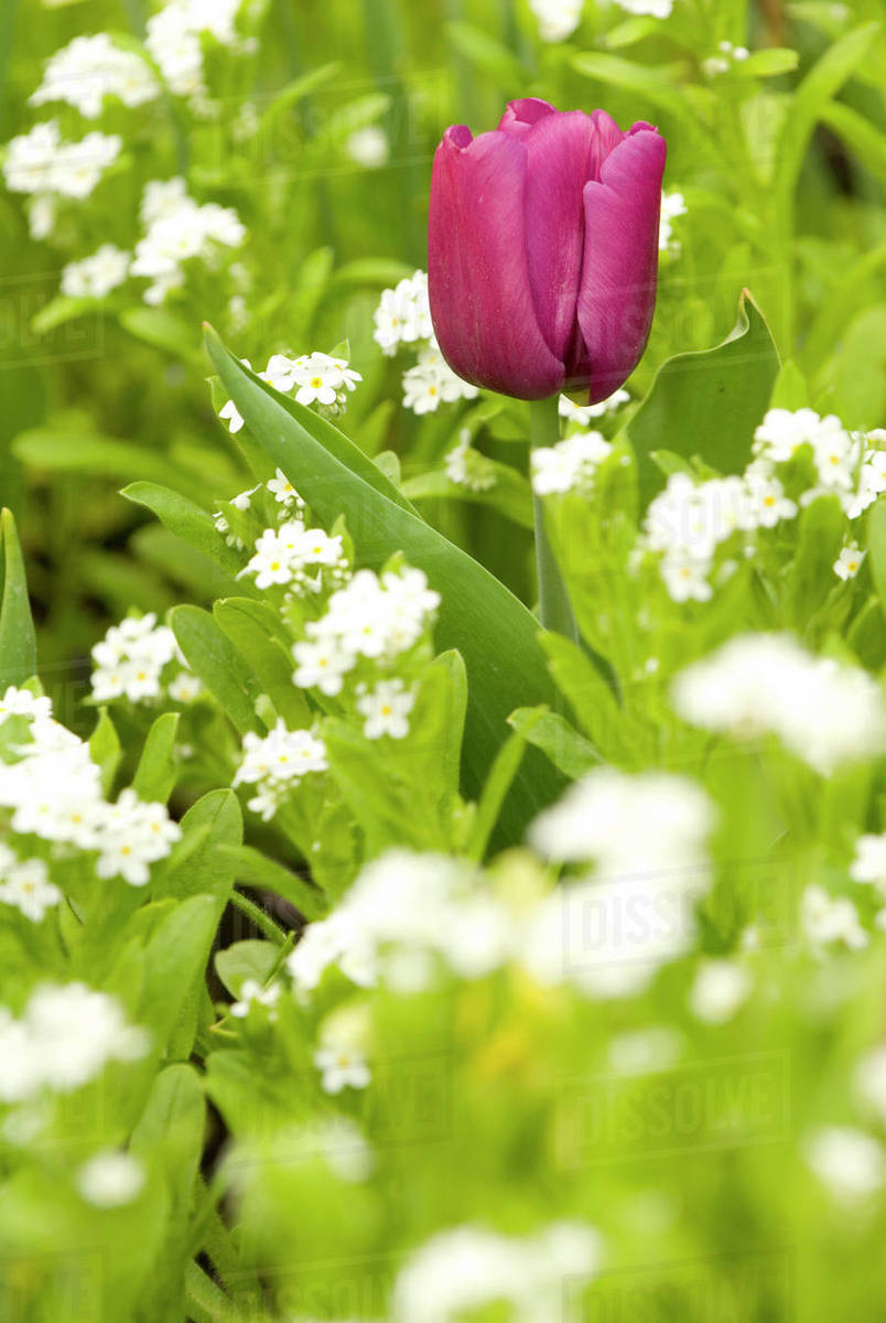 Brilliant Colored Single Tulip Contrasts To Field Of White Flowers