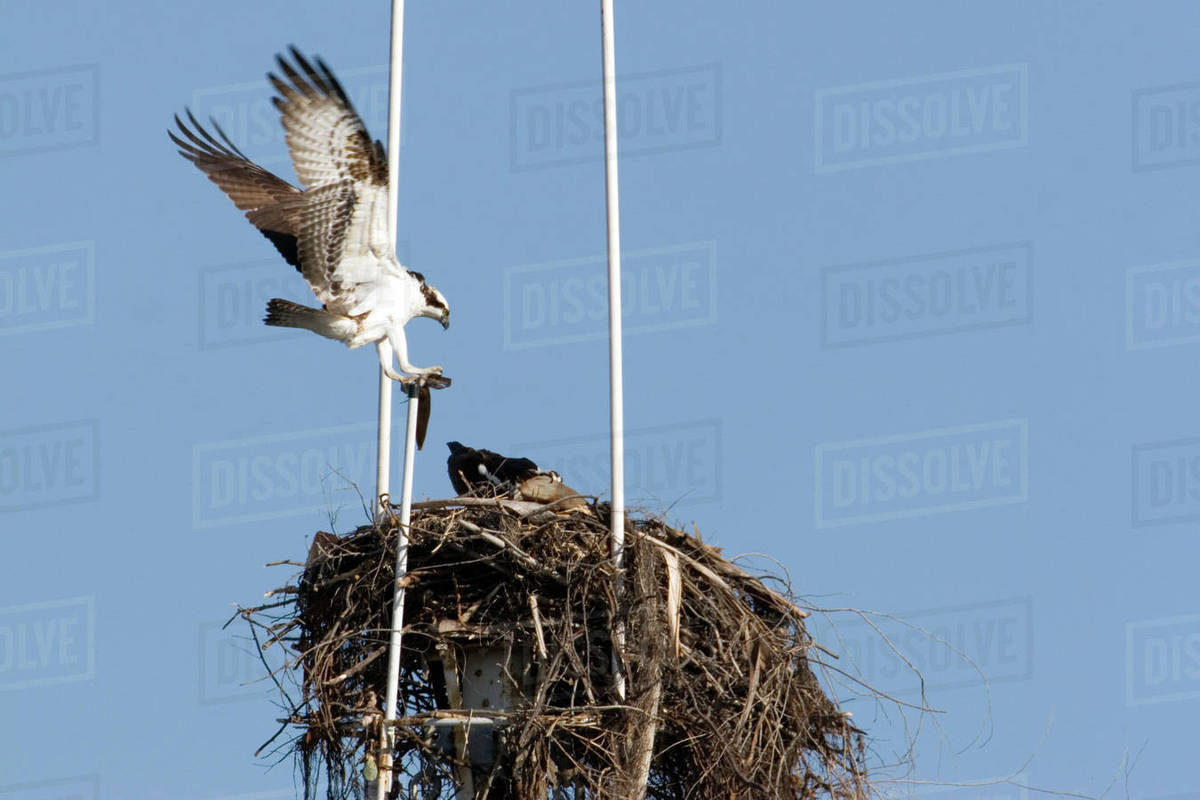 Pair of ospreys on nest built at the top of ship's mast in San Diego  harbor  stock photo