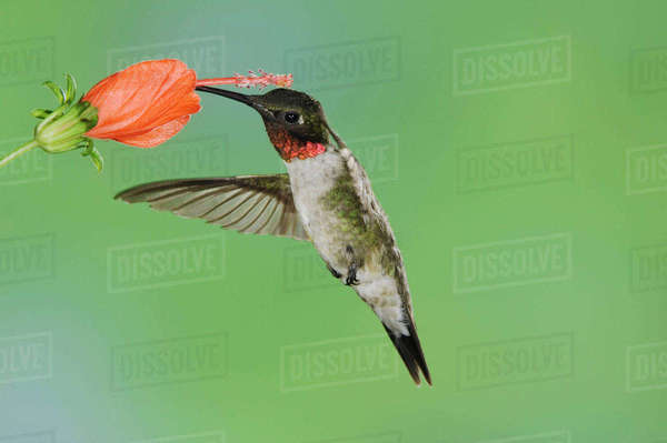 Ruby-throated Hummingbird, Archilochus colubris, male in flight feeding on Turk's Cap (Malvaviscus drummondii), Willacy County, Rio Grande Valley, Texas, USA, May Royalty-free stock photo