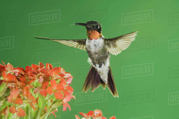 Ruby-throated Hummingbird, Archilochus colubris, male in flight feeding on Kalanchoe Flower, New Braunfels, Texas, USA, September Royalty-free stock photo