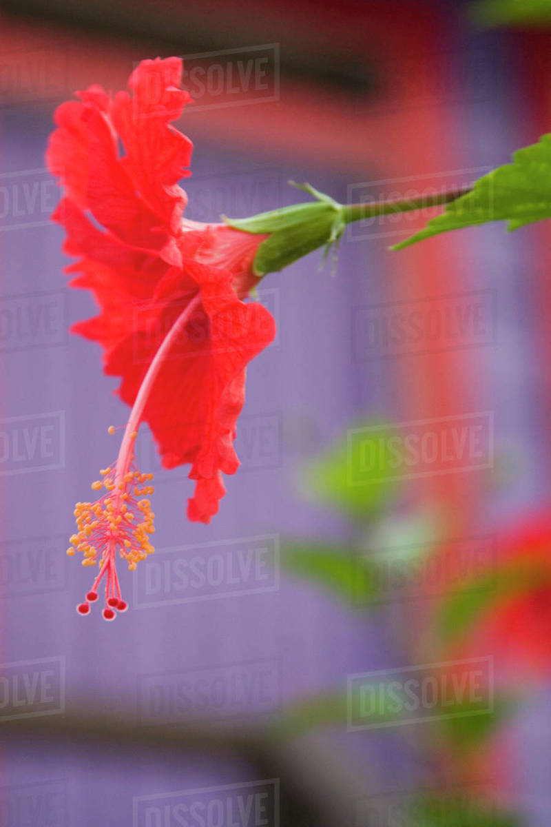 Red Hibiscus Flower Hibiscus Rosa Sinensis Near Purple Beach House