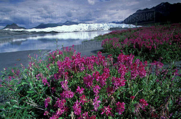North America, USA, Alaska, Chugach range, Matanuska Glacier. Fireweed blossoms Royalty-free stock photo