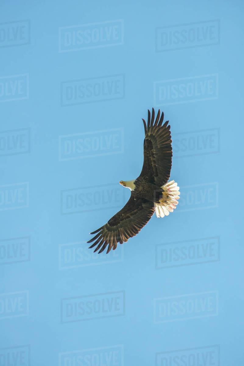 Usa Florida Daytona Bald Eagle Flying Stock Photo Dissolve