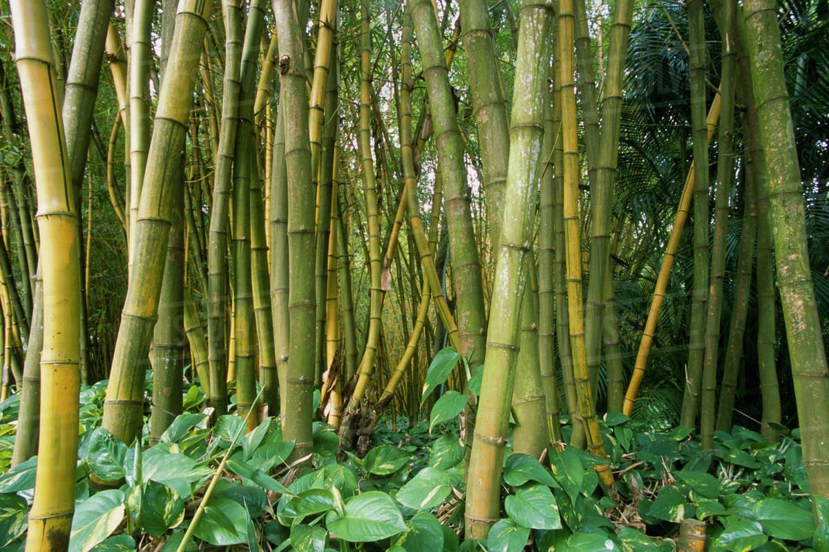 Bamboo (Bambusa Vulgaris L. Vittata) Grove, Allerton Garden, National  Tropical Botanical Garden, Kauai, Hawaii, USA.
