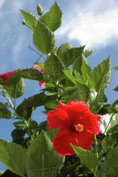 U.S.A., New York, Saratoga Springs, red Hibiscus, summer day Royalty-free stock photo