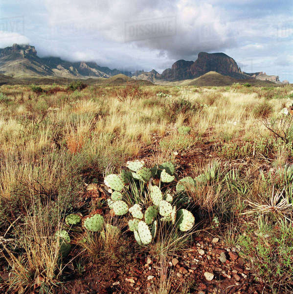 USA, Texas, Big Bend National Park. Prickly pear cactus with Chisos Mountains in the background in the Big Bend National Park, situated in the north tip of the Chihuahuan Desert. Royalty-free stock photo
