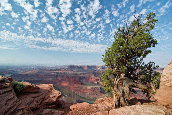 USA, Utah, Deadhorse Point SP. Old Juniper perches on mesa rim under a big buttermilk sky. Royalty-free stock photo