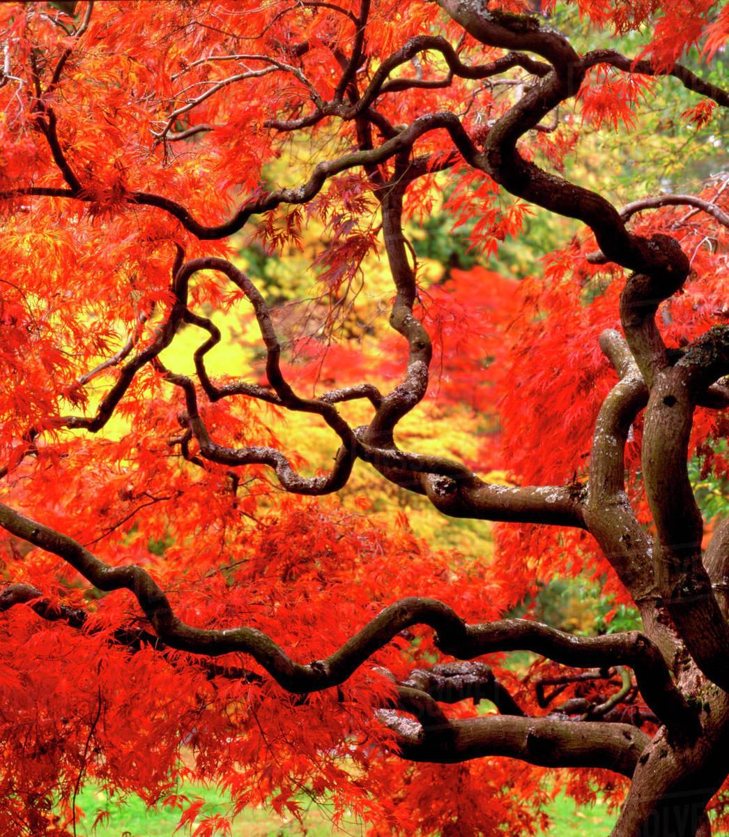 Usa Washington State Seattle Japanese Maple Tree Acer Palmatum