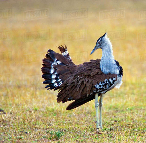 Kenya. Kori bustard bird standing in a field. Rights-managed stock photo