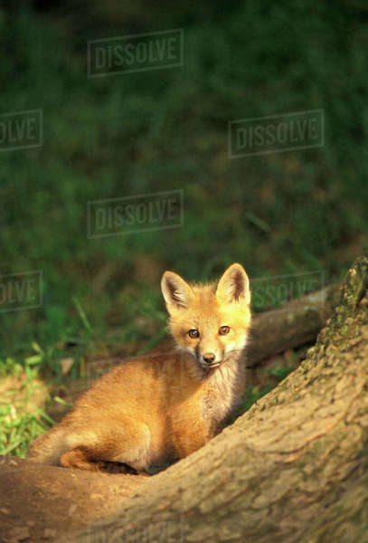 Red Fox pup in front of den (Vulpes vulpes) Rights-managed stock photo