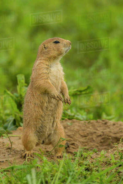 USA, Colorado, Rocky Mountain Arsenal National Wildlife Refuge. Prairie dog on den mound. Rights-managed stock photo