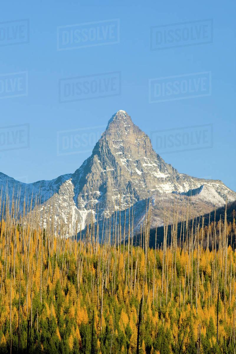 Autumn Larch Trees Frame Mount St Nicholas In Glacier National Park In Montana Stock Photo Dissolve